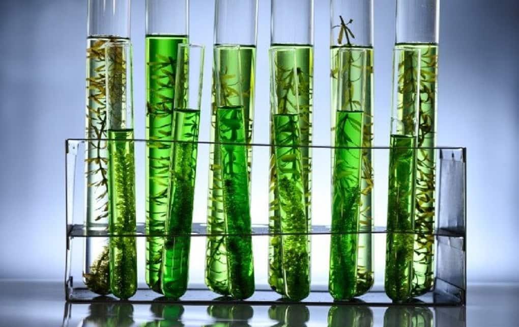 ساخت واکسن خوراکی کرونا با استفاده از جلبک