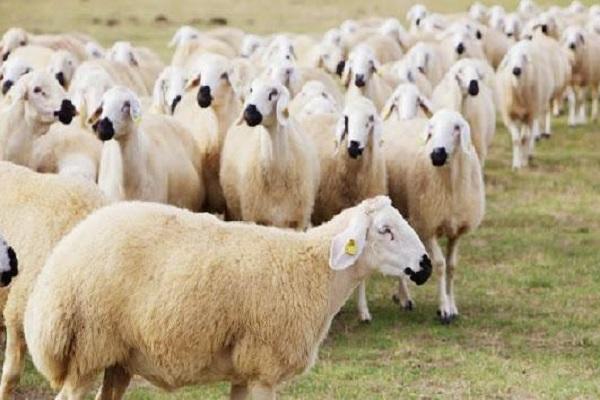 ذبح گوسفند در مراکز عرضه دام شهرداری در عیدقربان ممنوع است