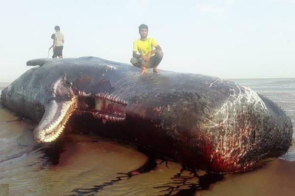 مشاهده لاشه نهنگ در سواحل سیریک استان هرمزگان