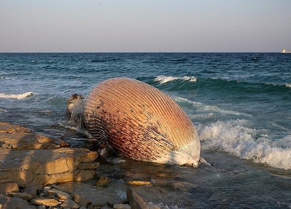 مرگ دومین نهنگ به گل نشسته در ساحل کیش + فیلم