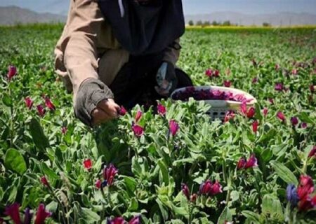 اختصاص تسهیلات برای کشت گیاهان دارویی + فیلم
