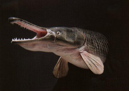 ماهی سر سوسماری در دریاچه چیتگر وجود دارد اما خطرناک نیست + فیلم