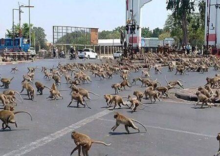 حمله هزاران میمون به شهر لوپوری در تایلند + ویدیو