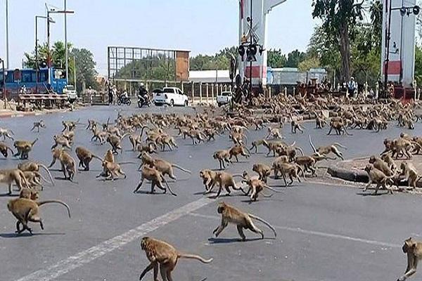 حمله هزاران میمون به لوپوری