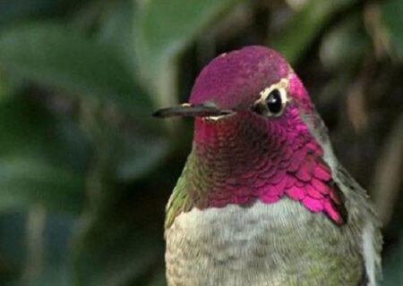 پرندهای که در یک دقیقه ۶۲ بار رنگ عوض میکند + فیلم