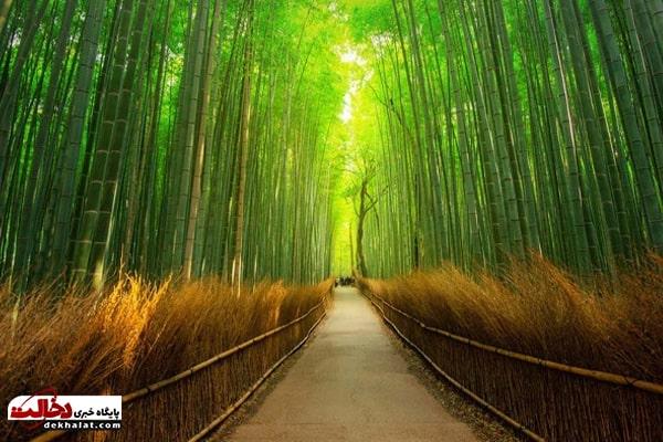 جنگل آراشی یاما