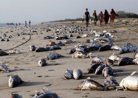 مرگ هزاران گربه ماهی در جاسک | علت مرگ این گربه ماهیان چه بود؟