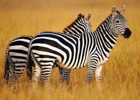 استقبال ویژه از سه گورخر آفریقایی با کتک! | توهین اکانت اینستاگرام باغ وحش صفادشت