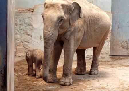تولد اولین فیل در باغ وحش ارم تهران / جنسیت بچه فیل ماده است + فیلم